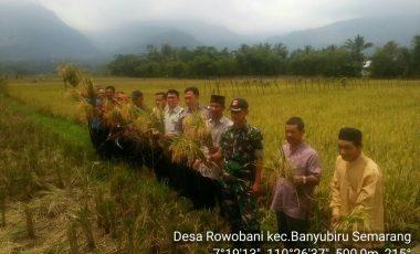 Sebanyak 27 Hektar Sawah di Desa Rowobani Kecamatan Banyubiru Siap Panen